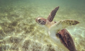 Akumal y sus tortugas